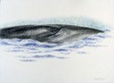 Bryde's whale: At the Surface