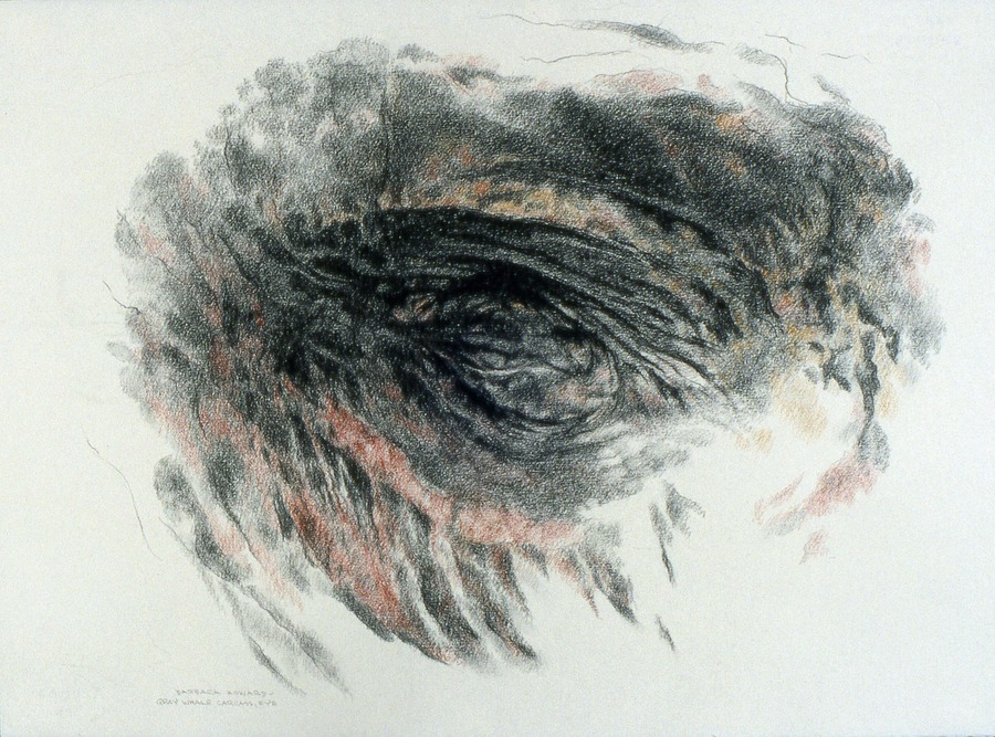 Gray whale: Carcass, Eye